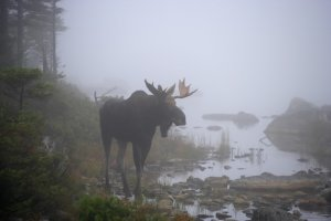 Maine foliage peeping may include a moose