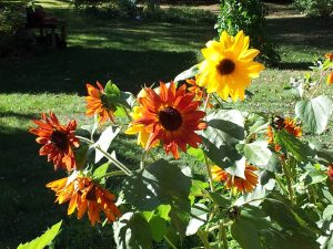 Sunflowers in a yard