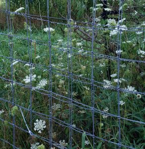 Queen Anne's Lace by fence