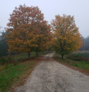 Maple trees on dirt road in the fog