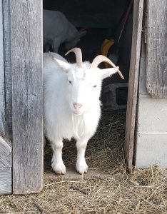 Small white Nigerian goat in a barn door