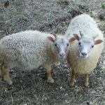 Twp white lambs standing next to each other