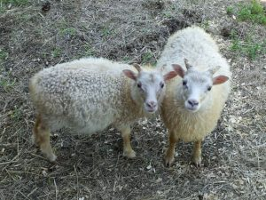 Two white lambs standing nest to each other