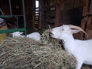 White goat eating hay