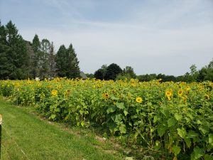 Field of sunflowers with trees in the background