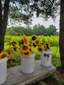 Bunches of sunflowers in white buckets